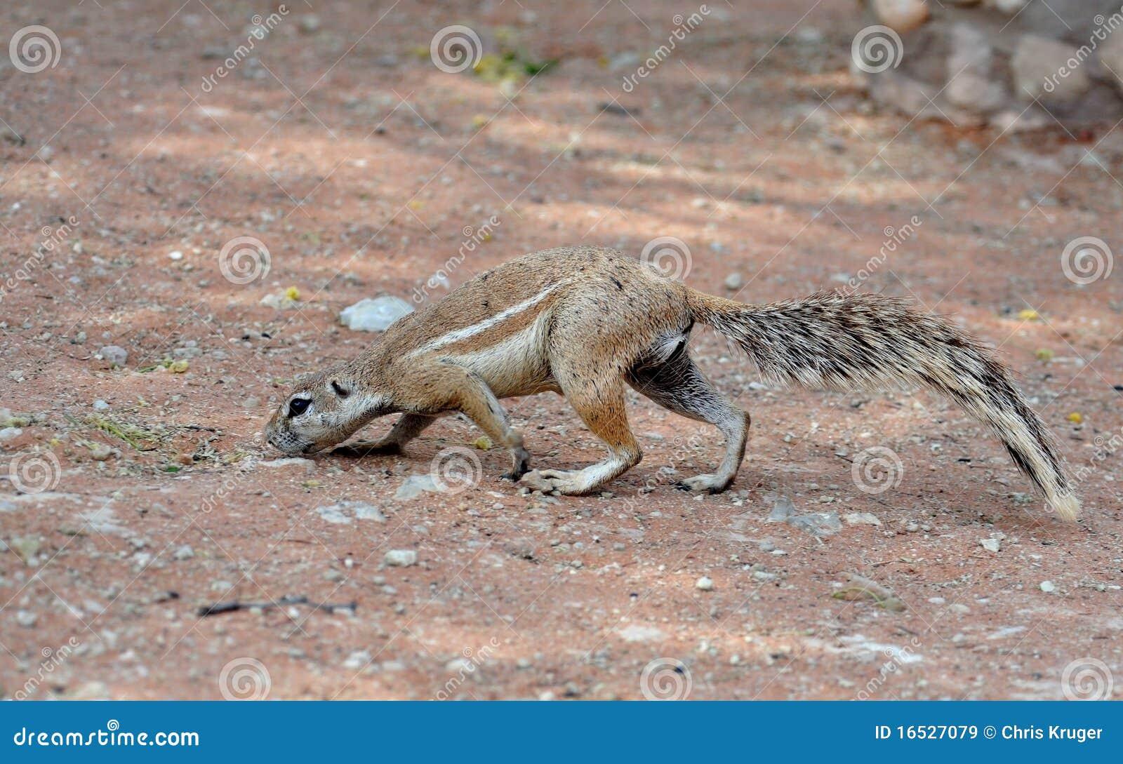Ground Squirrel (Xerus Inaurus) Royalty Free Stock Images ...