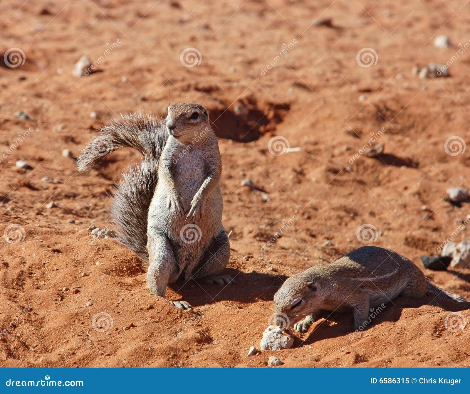 Ground Squirrel (Xerus Inaurus) Royalty Free Stock Photo ...