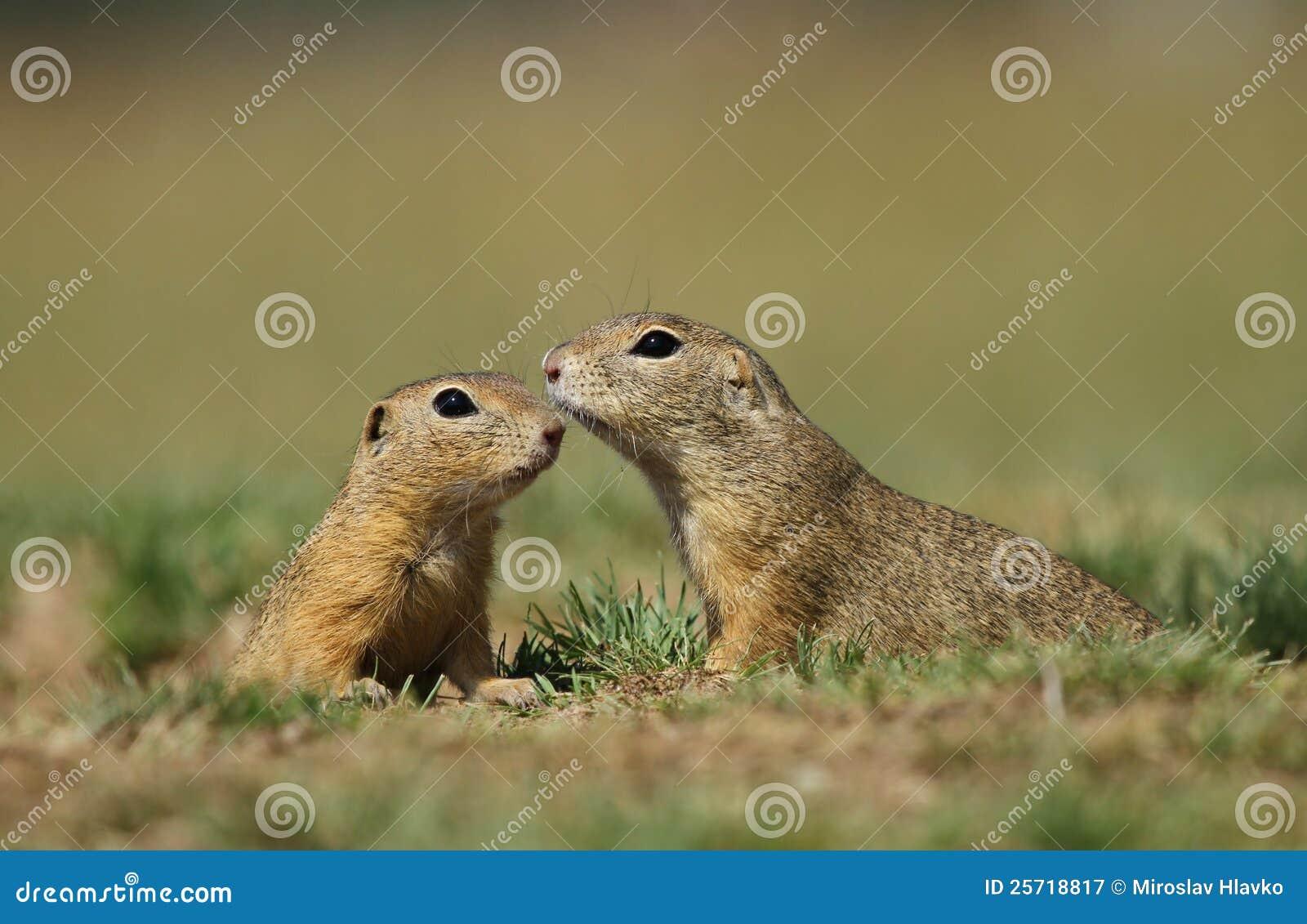 Cute squirrels in love - photo#18
