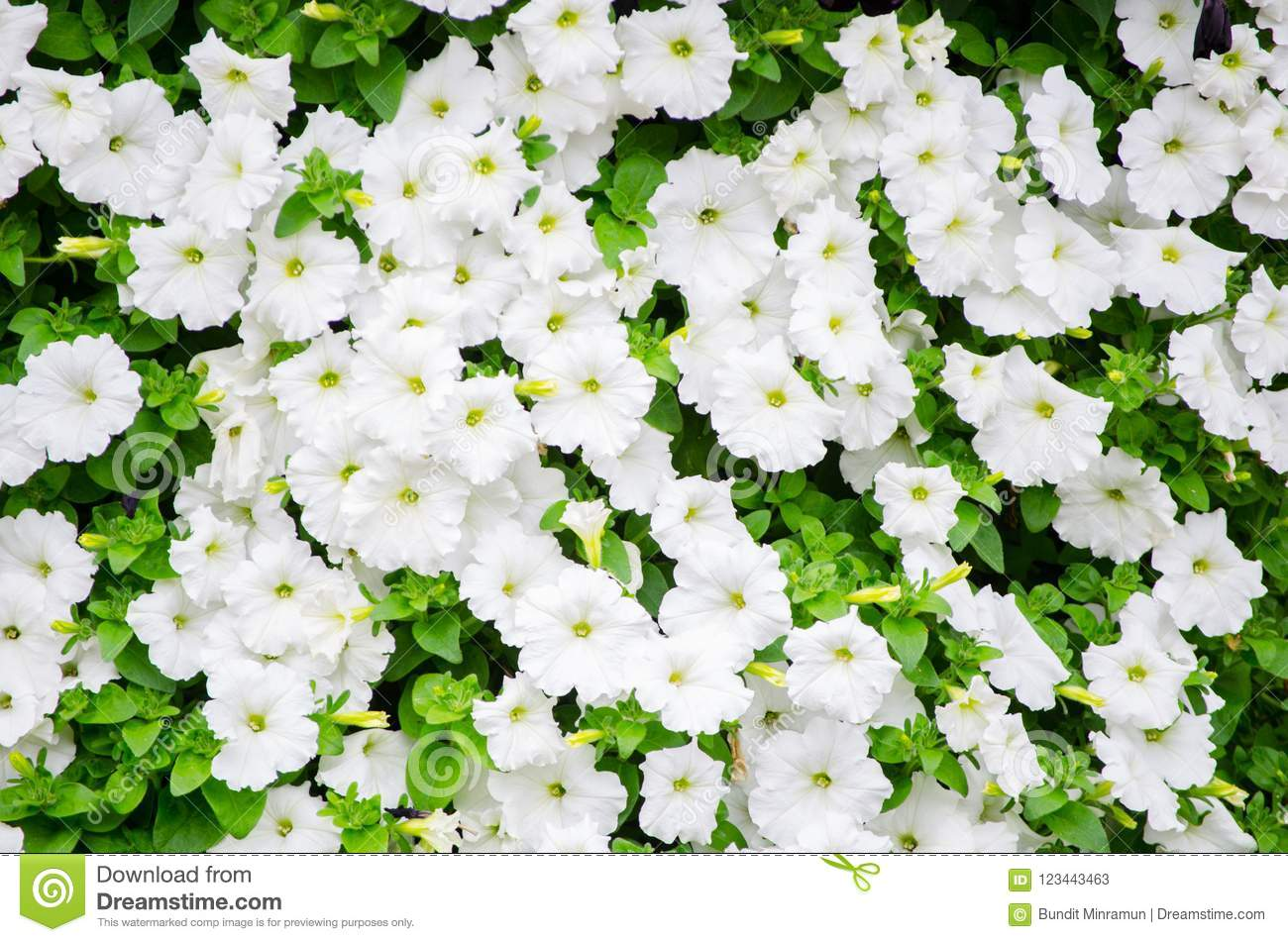 Groundcover Flower In White Color In A Spring Season At Botanical