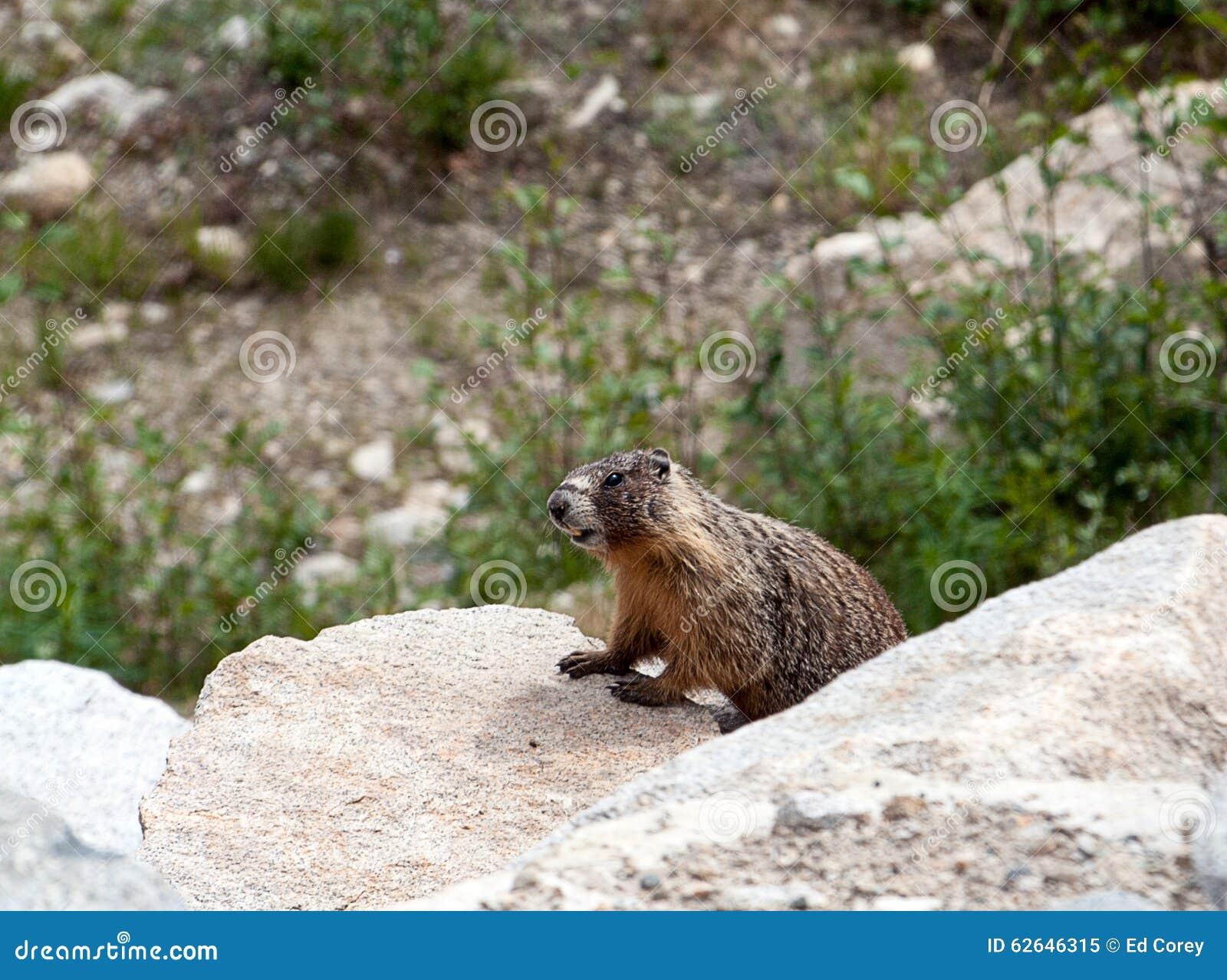 Groundhog Stock Photo