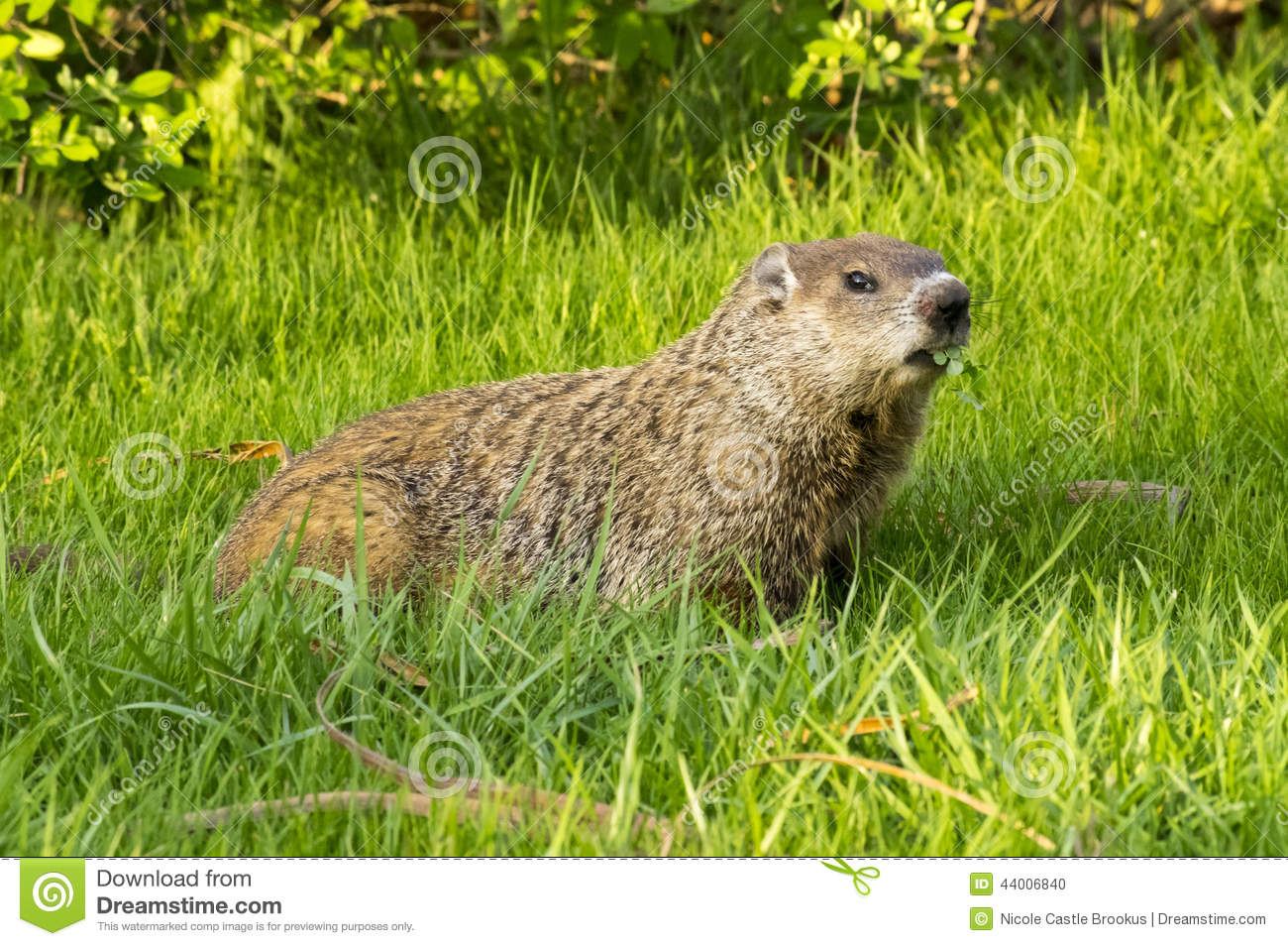 Groundhog and Clover