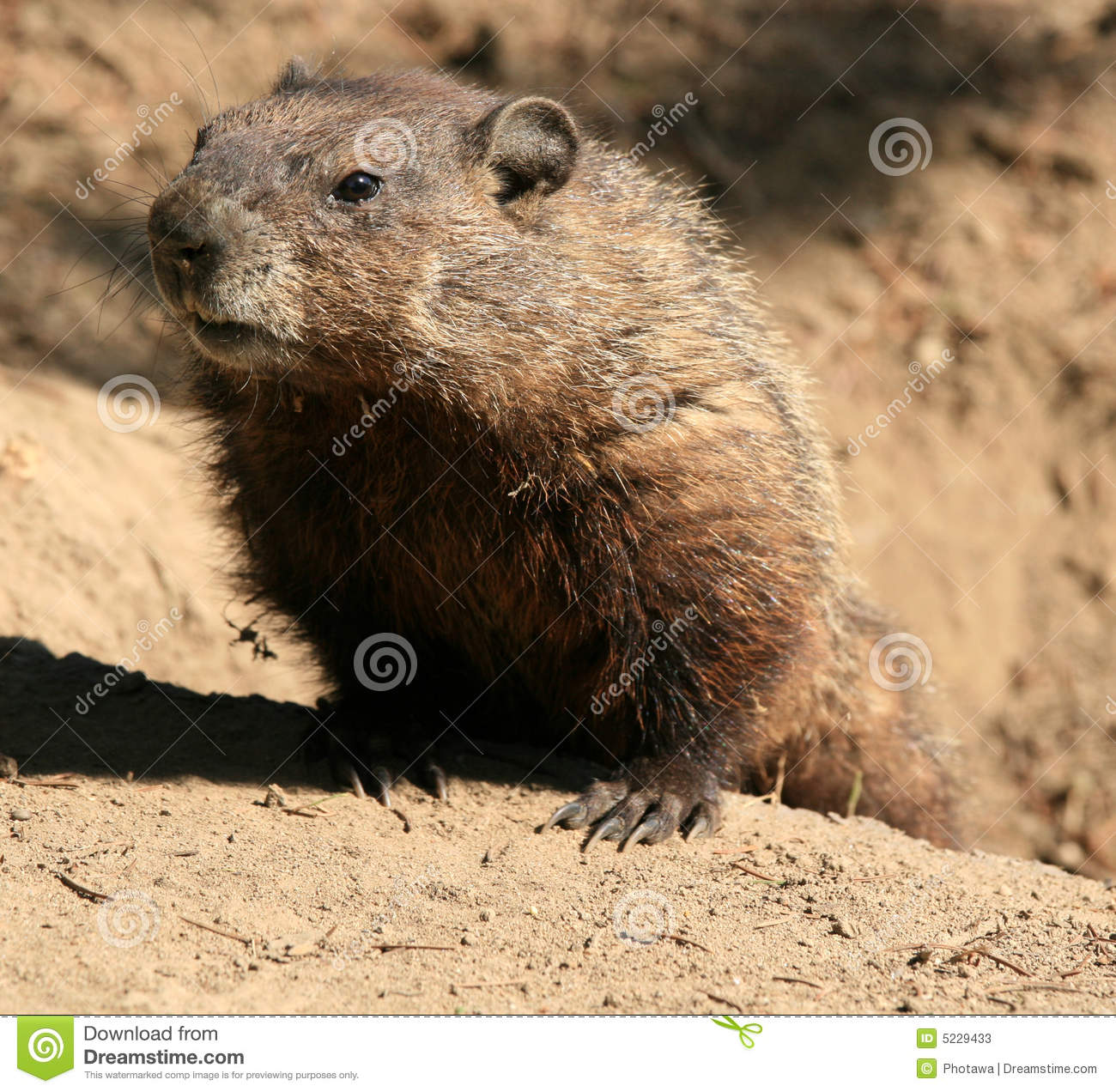 groundhog coming out of hole stock photos image 5229433