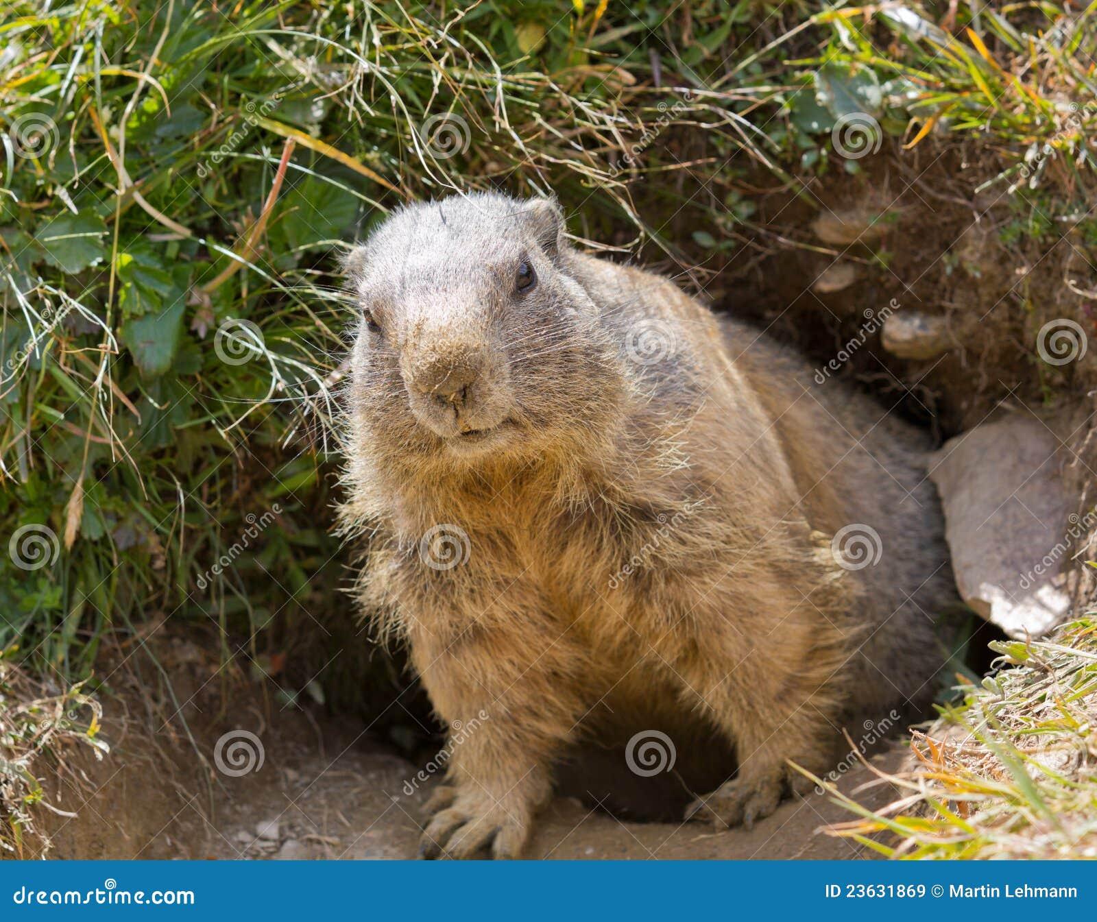 Groundhog in front of den