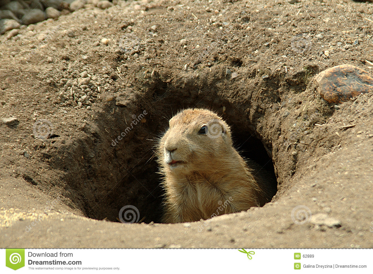 Groundhog In His Hole Royalty Free Stock Images - Image: 62889
