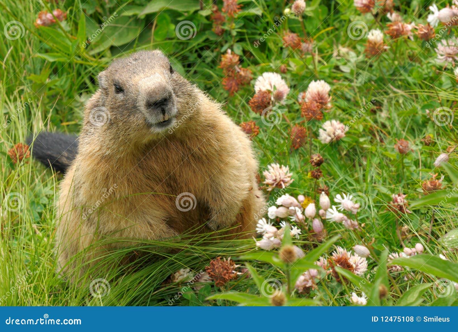 groundhog in his natural habitat royalty free stock photos image