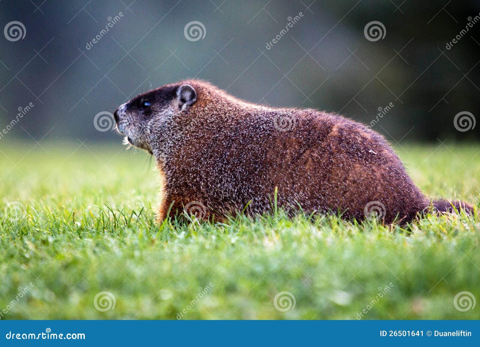 Groundhog on Lawn