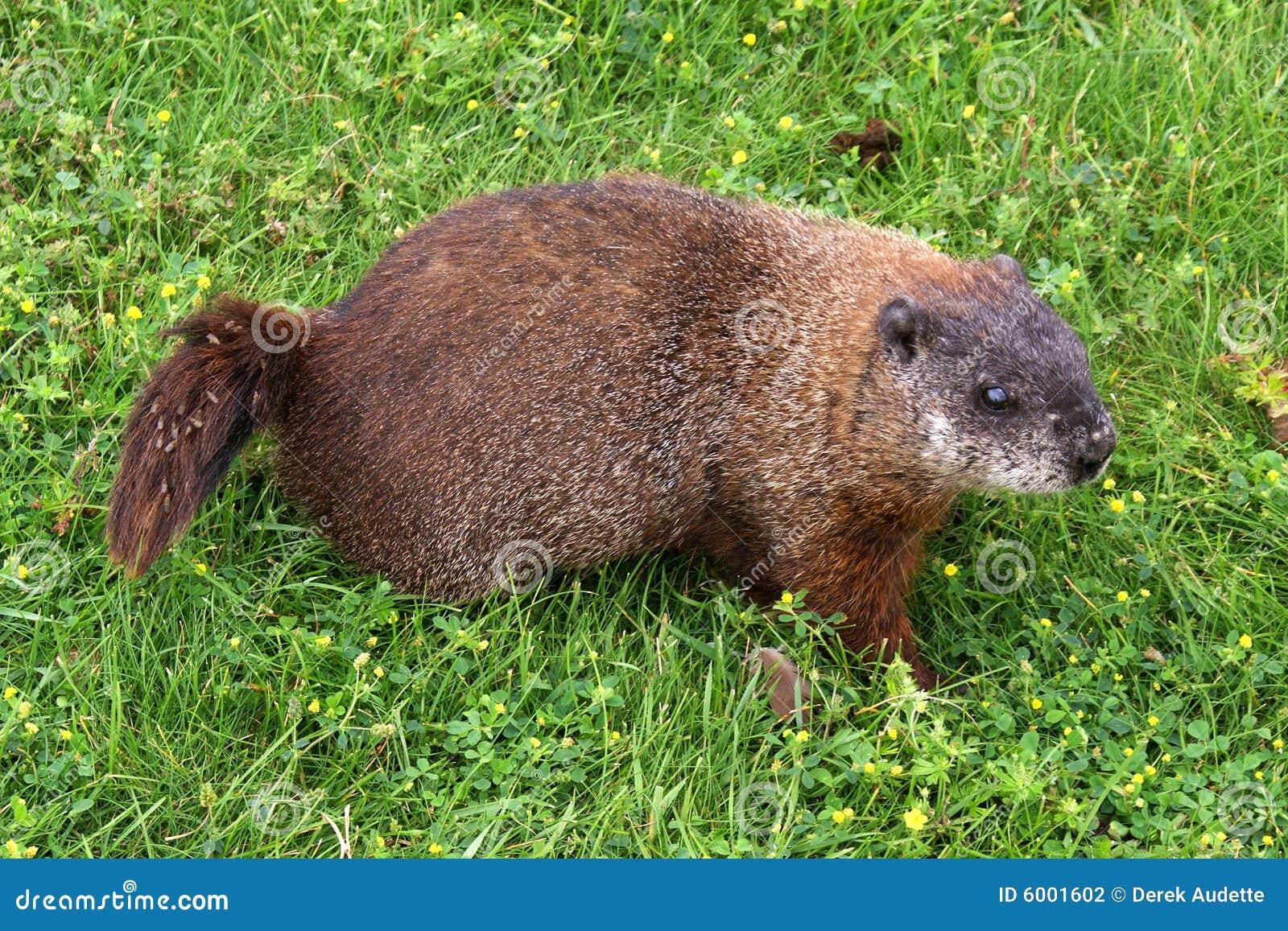 groundhog woodchuck stock photography image 6001602