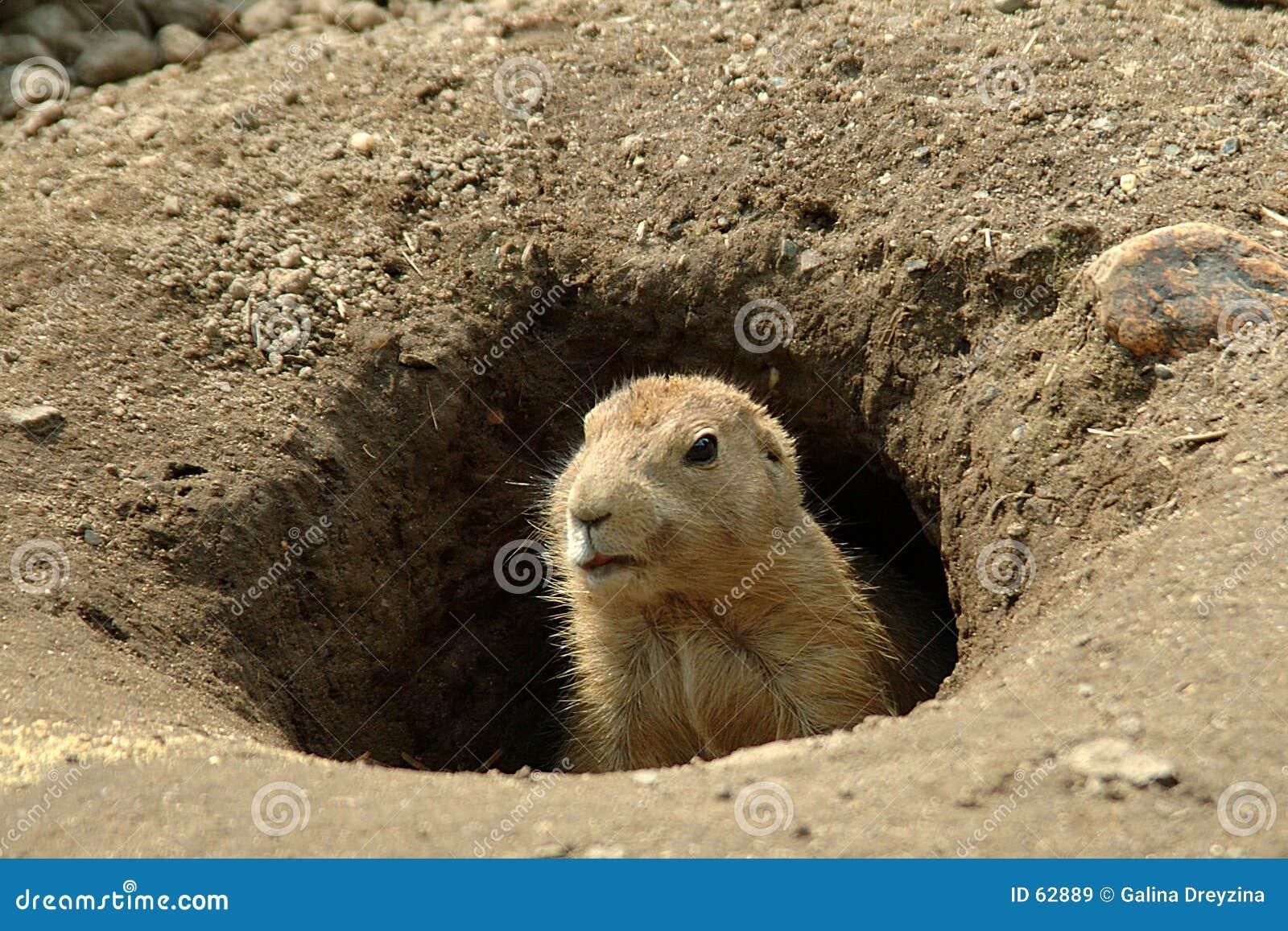Groundhog in zijn gat