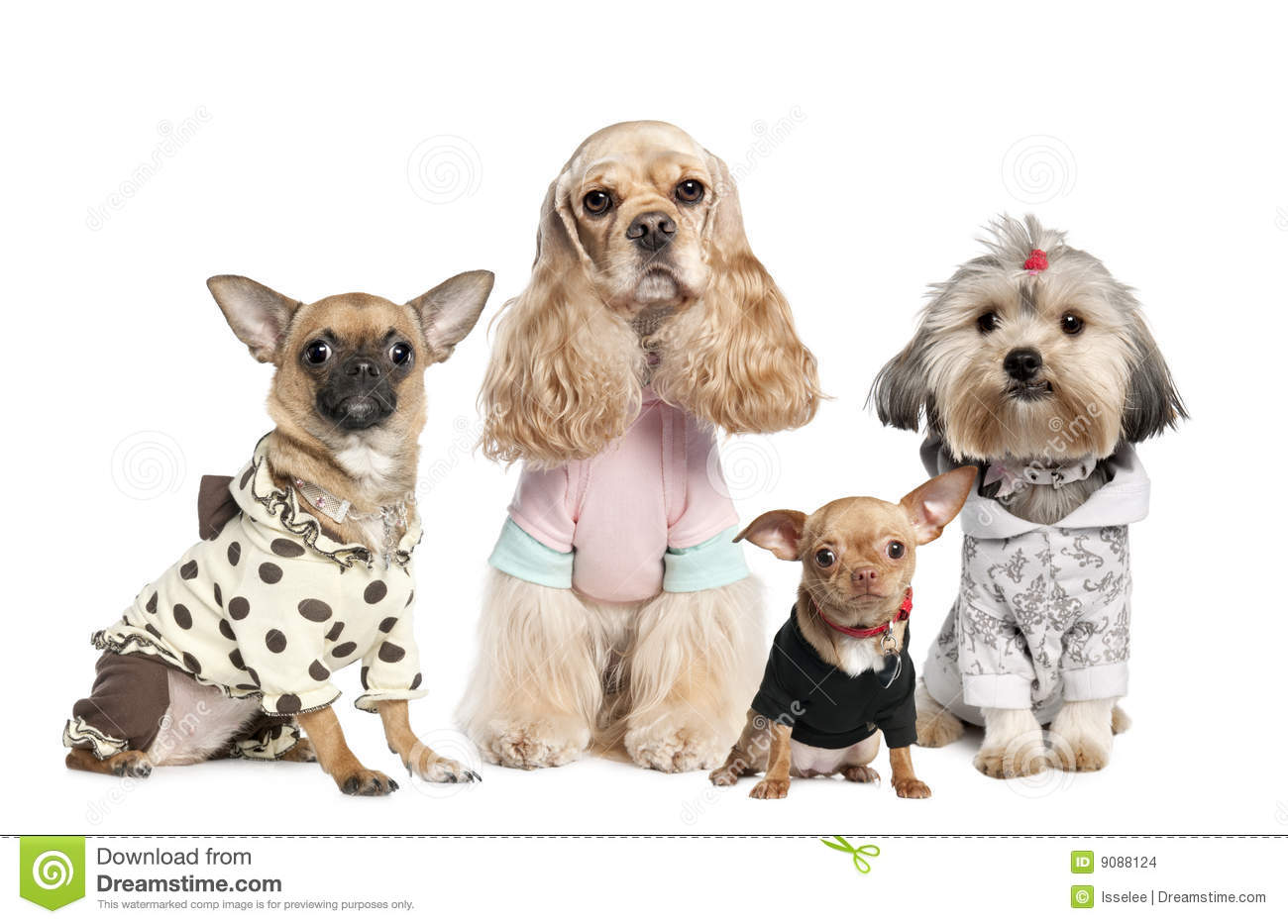 Group of 4 dogs dressed : chihuahua,shih tzu and C