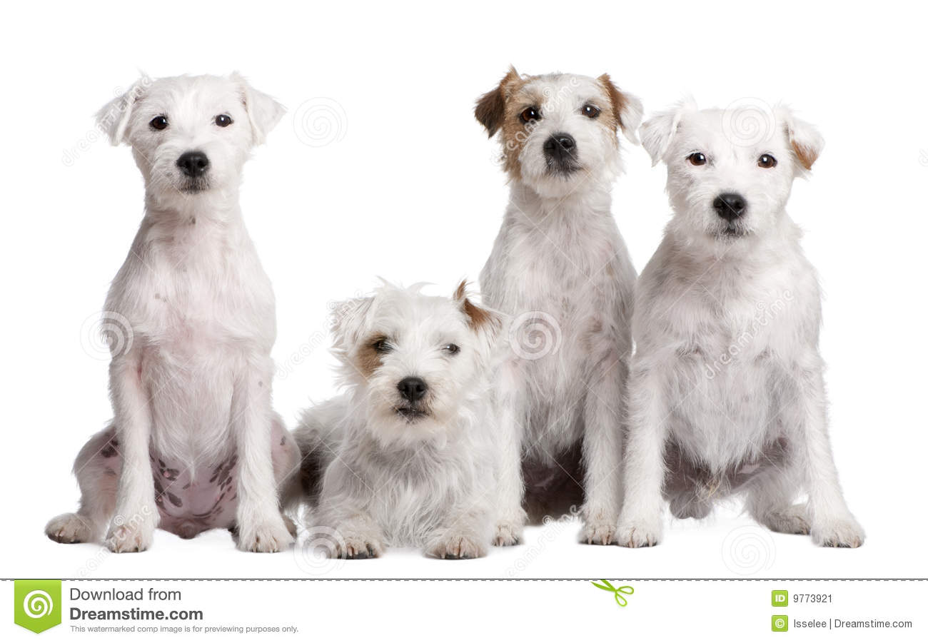 terrier group dogs group of parson russel and an australian shepherd stock 2219