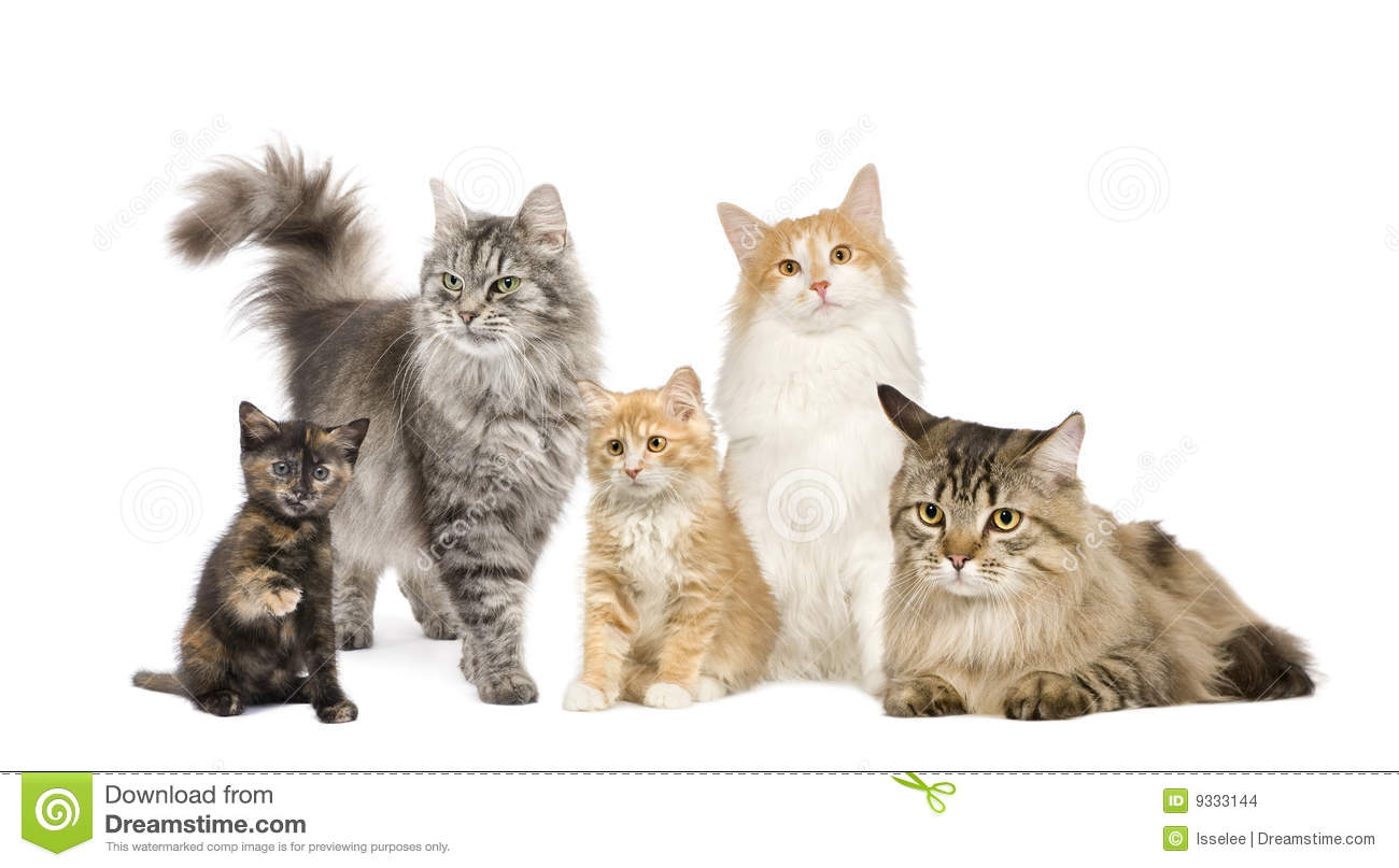 Group of 5 cats in a row : Norwegian, Siberian and persian cat in a ...