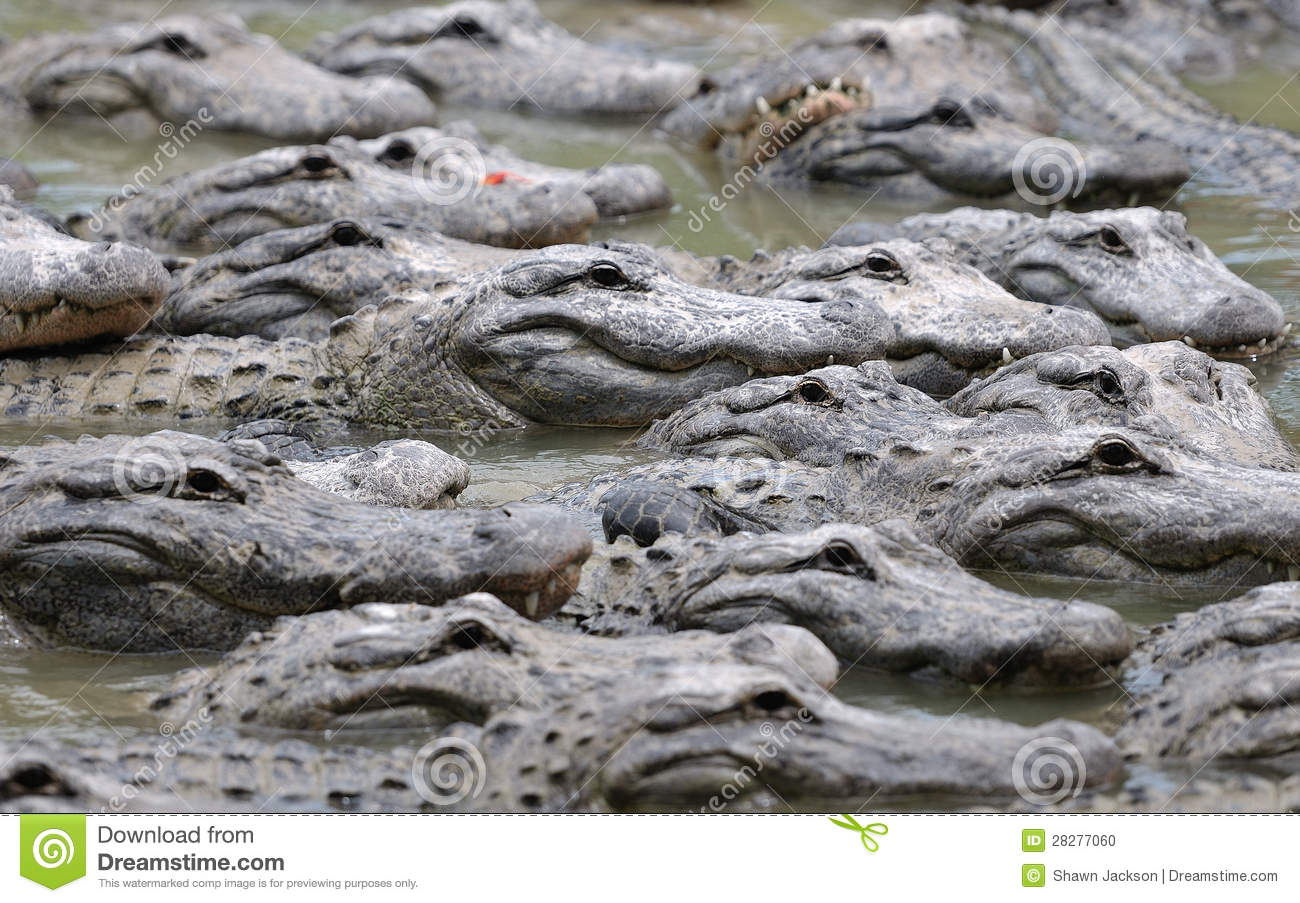 Group Of Alligators 52