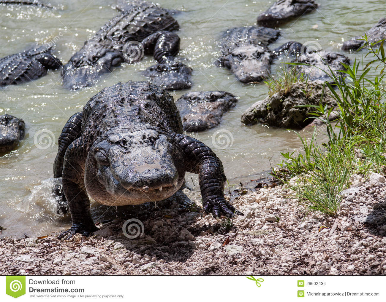 Group Of Alligators 119