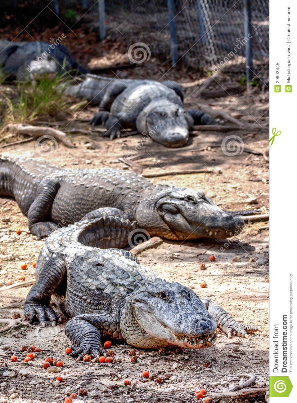 Group Of Alligators 78