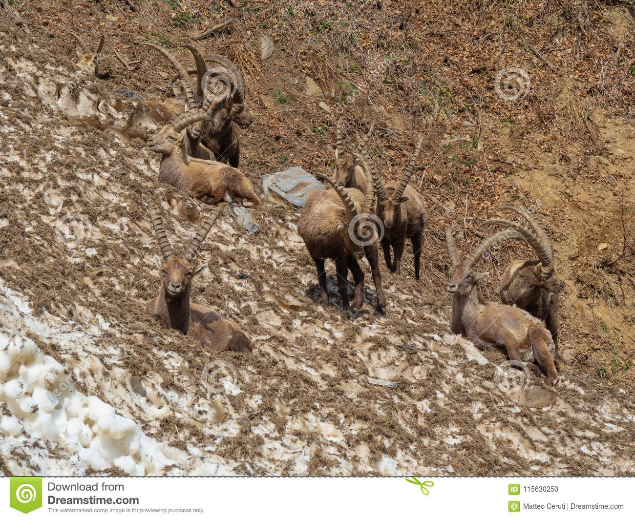 Group of alpine ibex on snowfield in spring season which camouflage itself with the dirty snow of debris. Italy, Orobie Alps