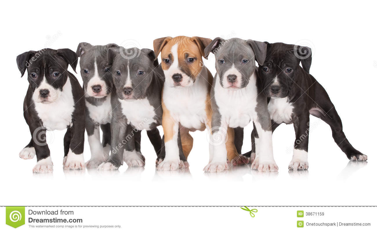 A Group Of American Staffordshire Terrier Puppies Royalty