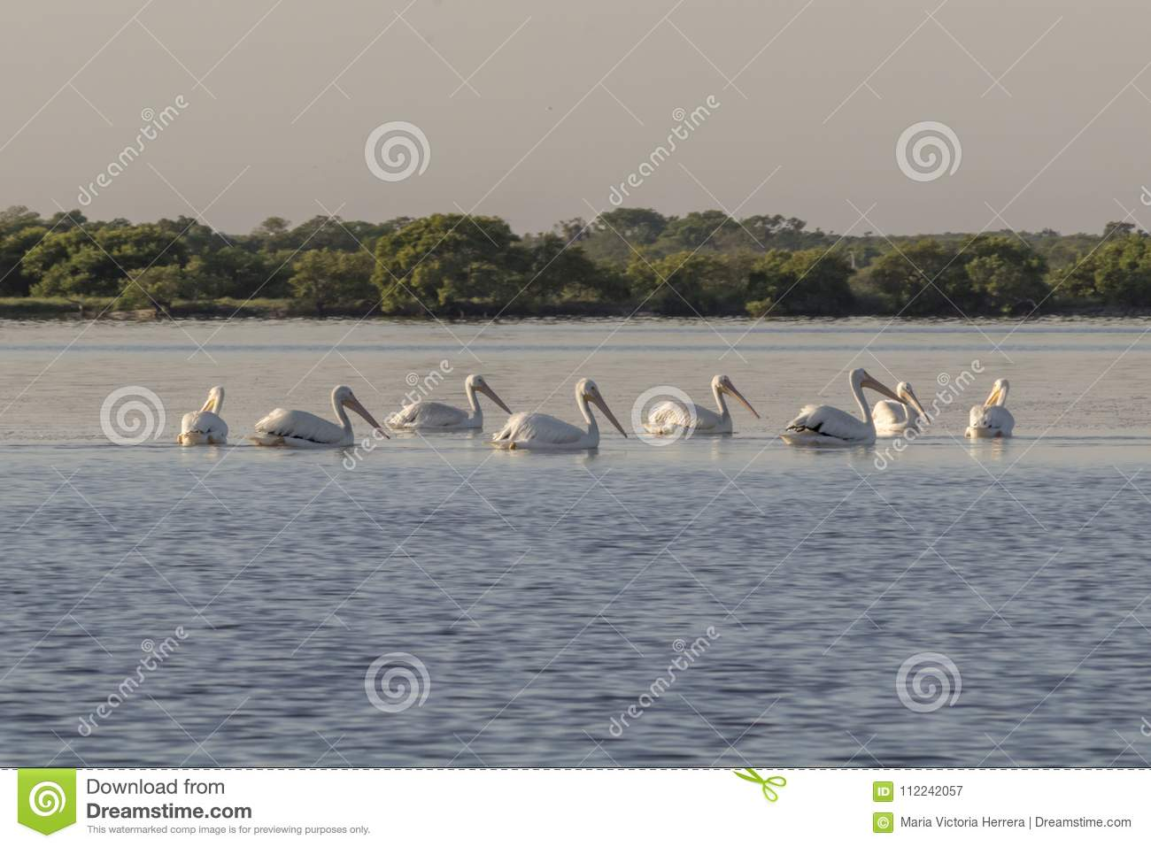 Group of American white pelican swims out