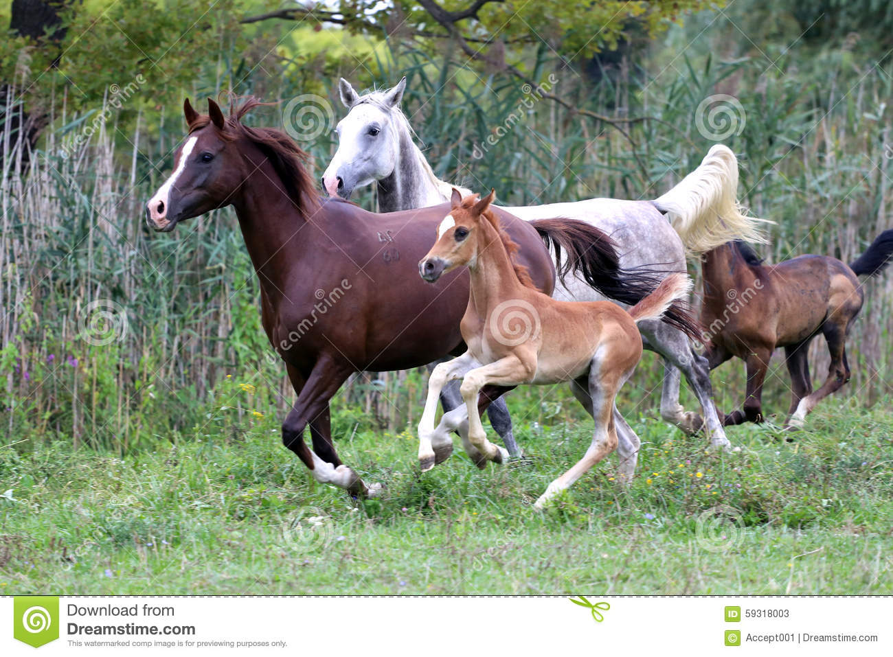 Group Of Arabian Horses Galloping On Beautiful Natural