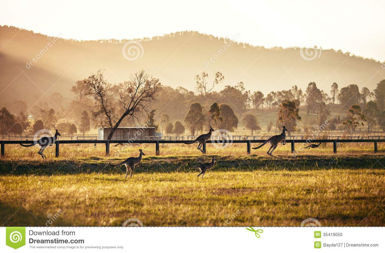 Hunter Valley Australia  City new picture : Group of australian kangaroos at Hunter Valley, Australia.