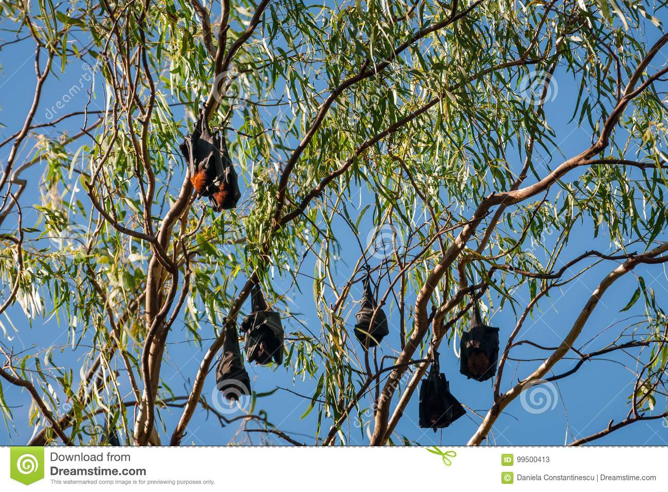 A group of Bats hanging in a tree at Katherine Gorge, Australia