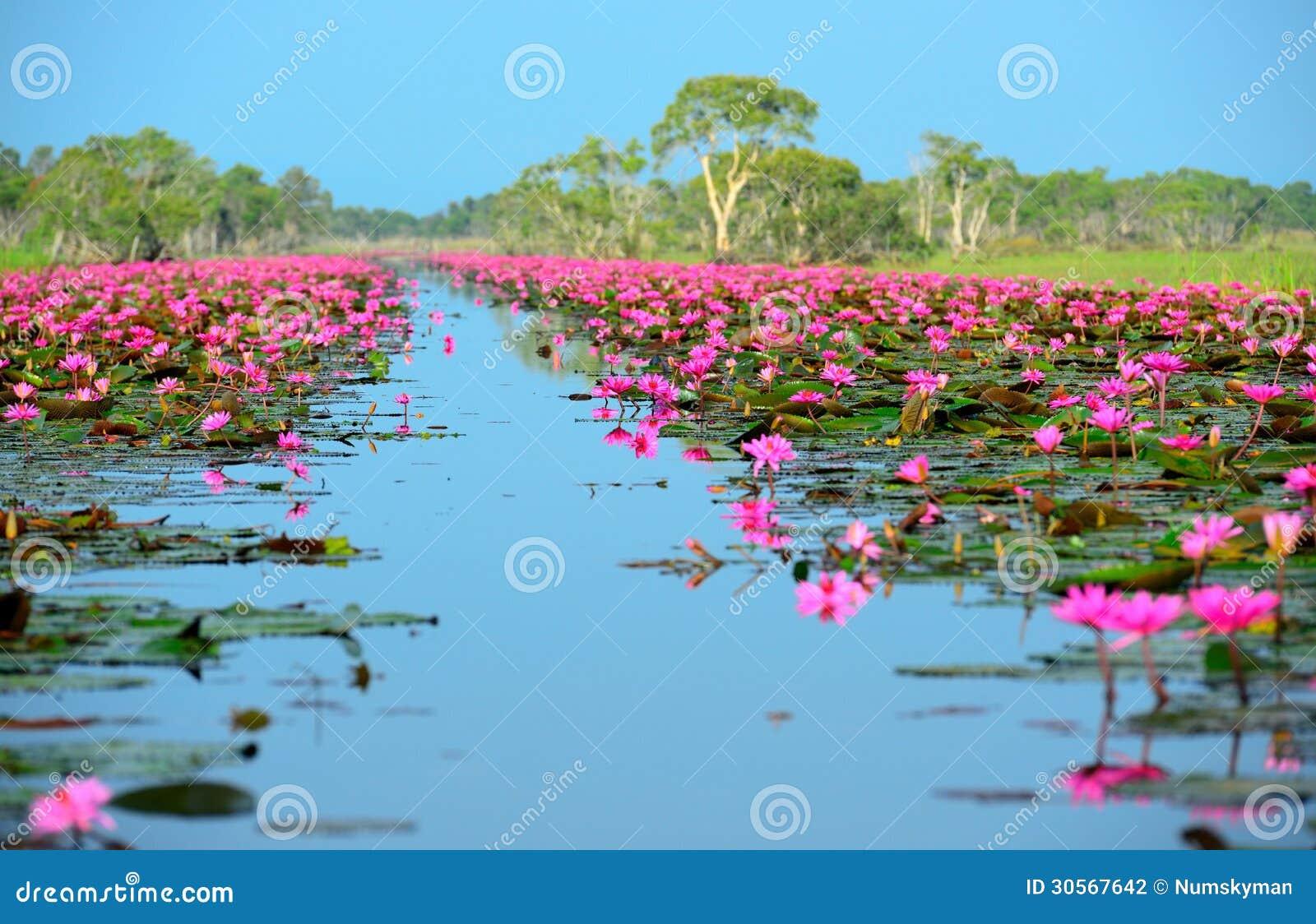 Group Of Beautiful Blossom Lotus Stock Photo Image 30567642