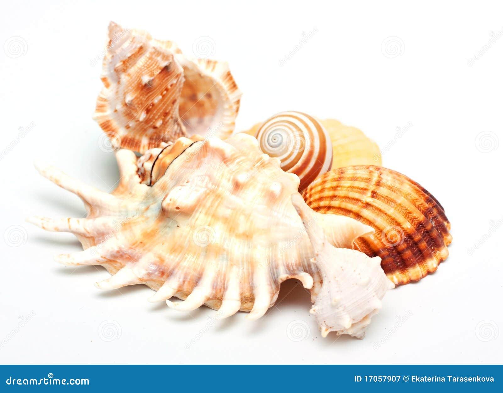 Group Of Beautiful Sea Shell. Royalty Free Stock ...