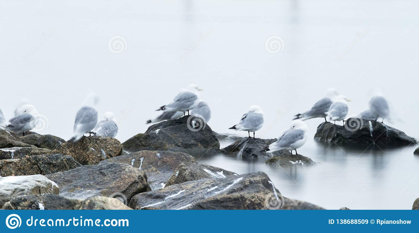 Group of black-legged kittiwake (Rissa tridactyla) resting - sleeping on the rocks very early in the morning at the port of