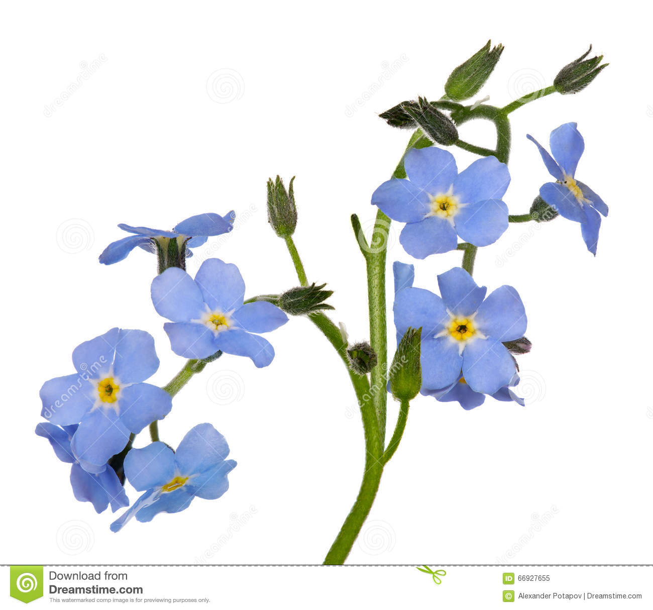Group Of Blue Forget Me Not Flowers Isolated On White Stock Image