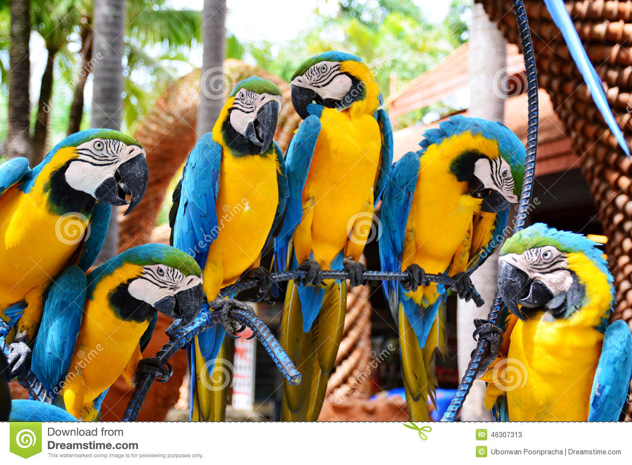 Group Of Blue And Yellow Macaw Birds. Stock Photo - Image: 46307313 Group Of Colorful Birds