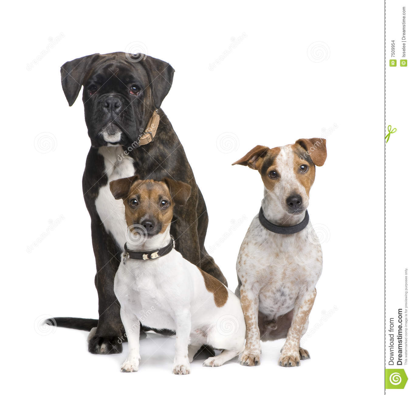 Group of three dogs Boxer, Jack russell and a crossbreed in front of a ...