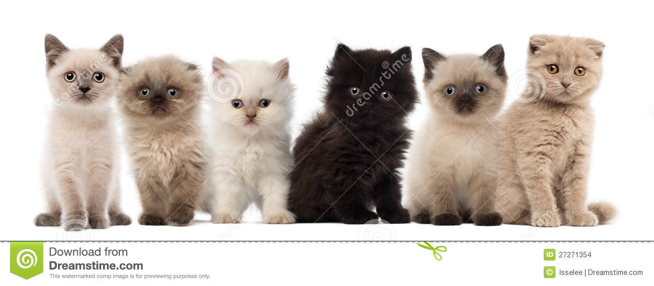 Group of British shorthair and British longhair