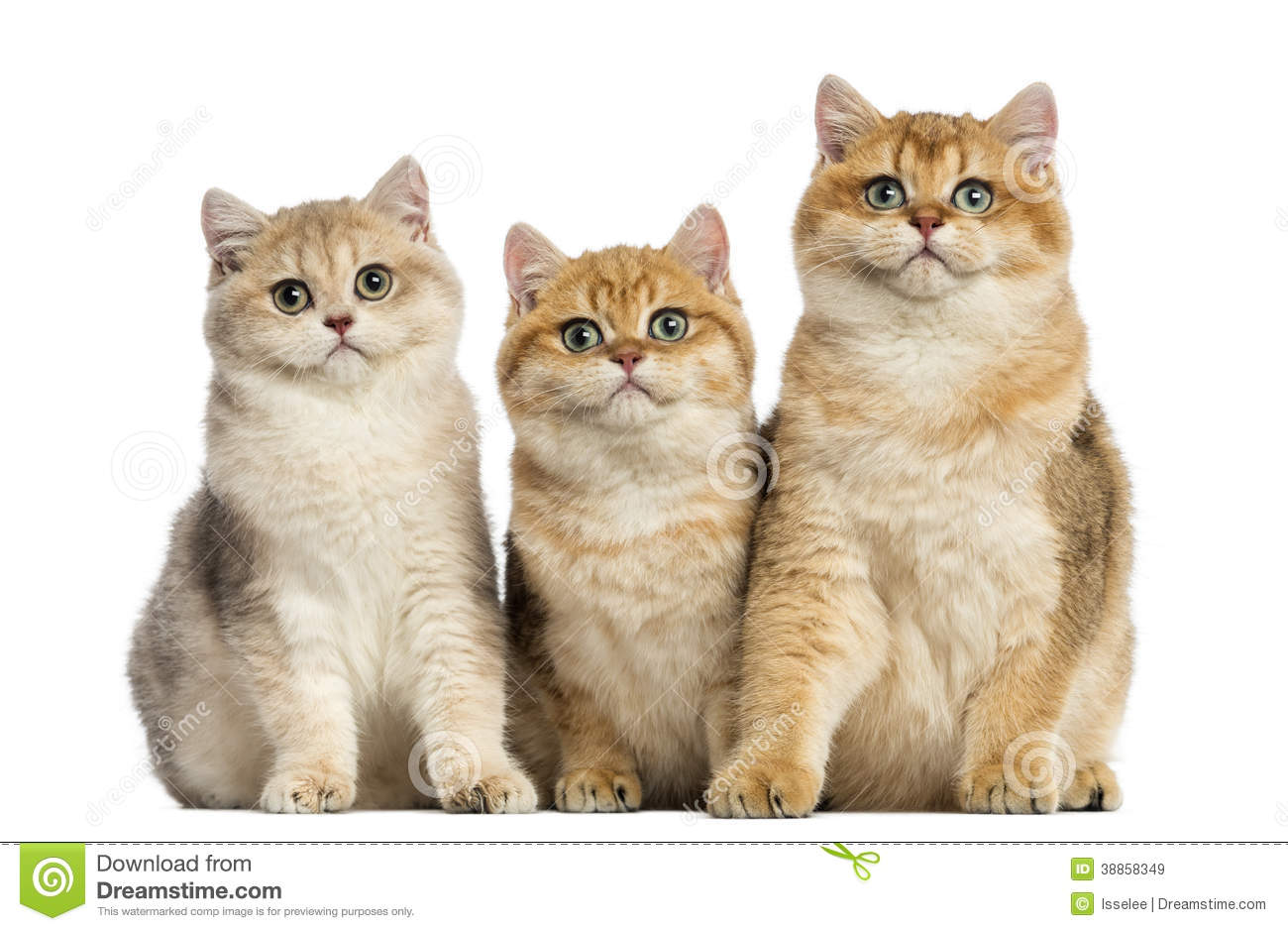 Group of British shorthair sitting in a row,