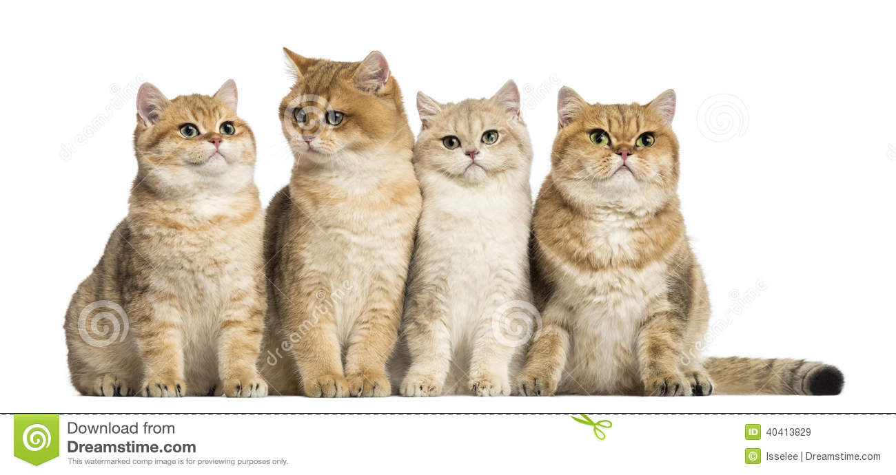 Group of British shorthair sitting in a row, isolated