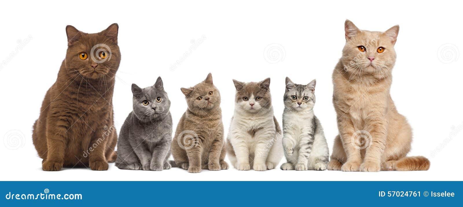 Group of British Shorthairs sitting