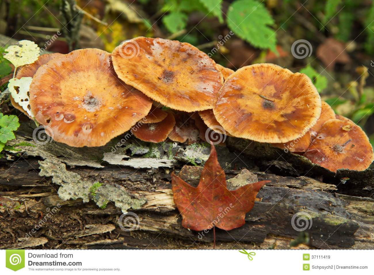 brown wild mushrooms in forest royalty free stock images