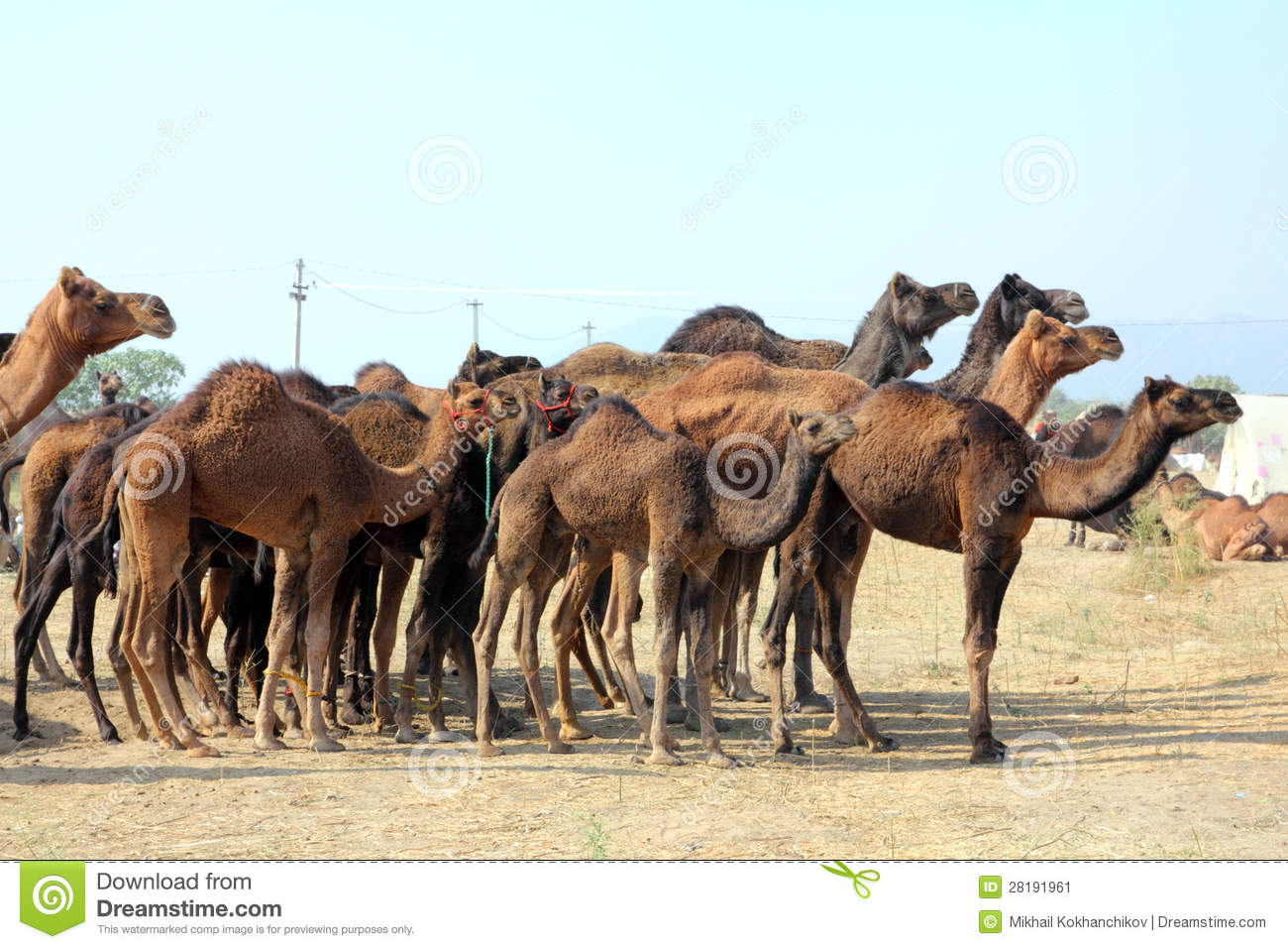 Group Of Camels 117