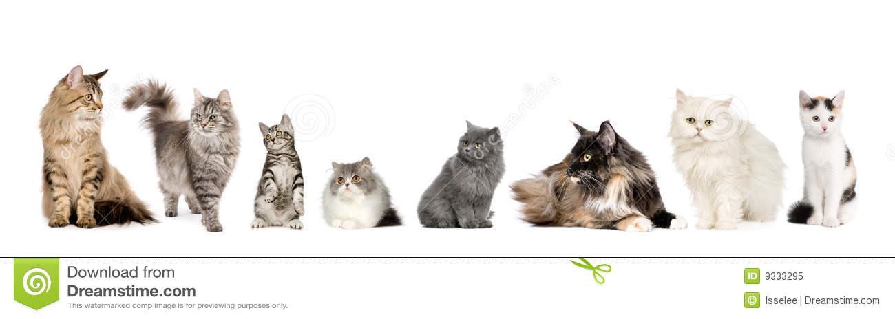 Group of cats in a row : Norwegian, Siberian and p