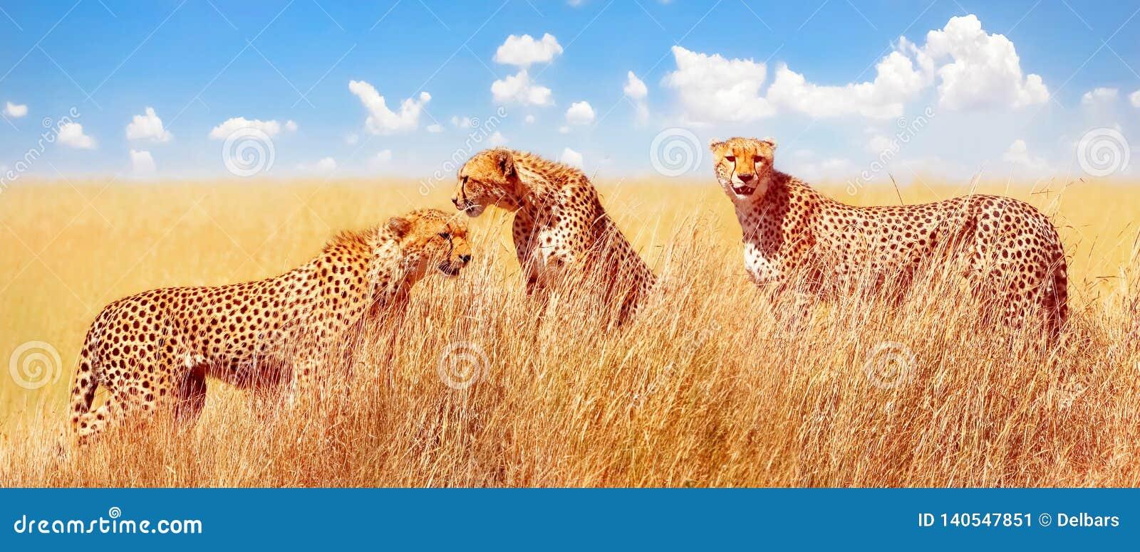 Group of cheetahs in the African savannah. Africa, Tanzania, Serengeti National Park