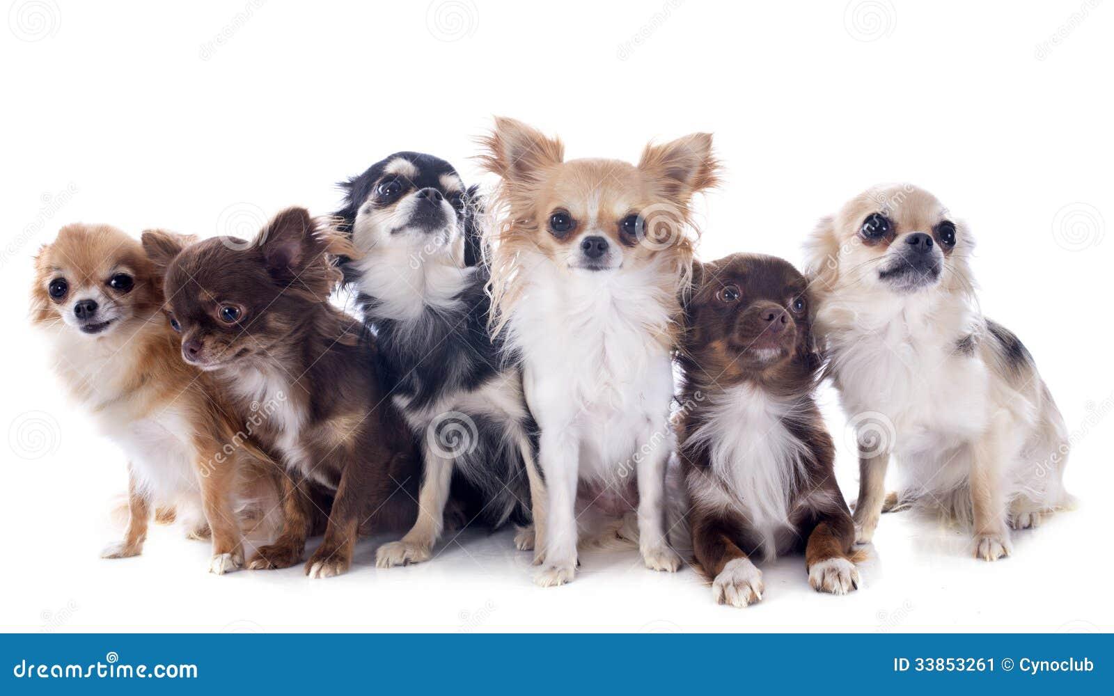 Small Pedigree Dog Breeds