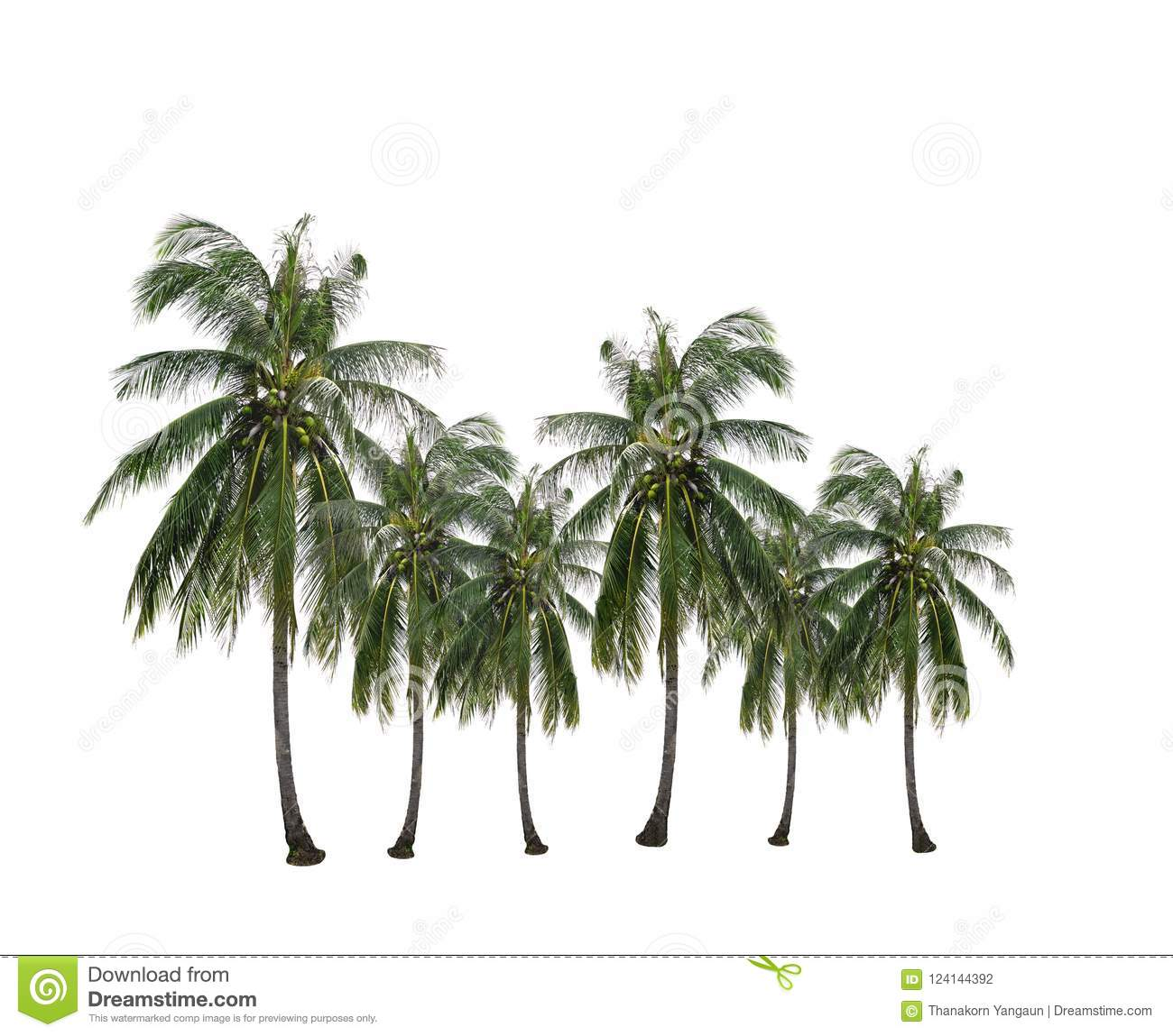 Group of coconut palm tree growing up in the garden isolated on white.