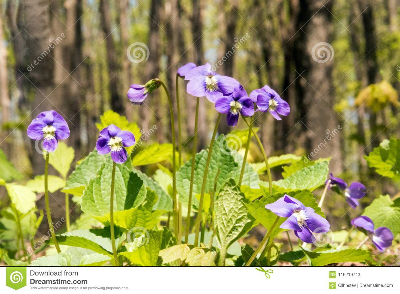 Common Blue Violets Stock Image Image Of Common Plant 116219743
