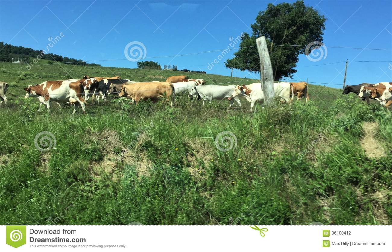 This group of cow make me laughing...