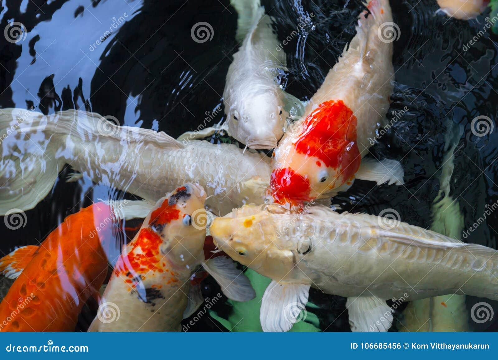 Group of fish or koi fish