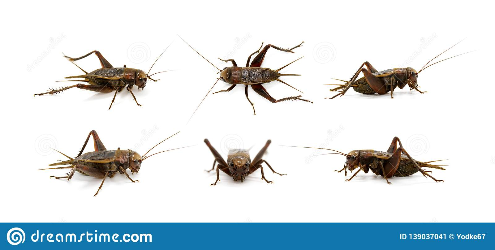 Group of cricket on white background., Insects. Animals
