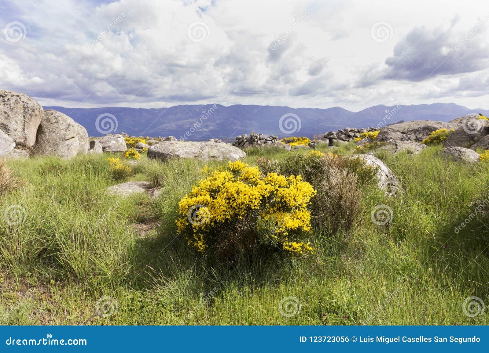 Group Of Cytisus Oromediterraneus Flowering Bushes With Their Yellow