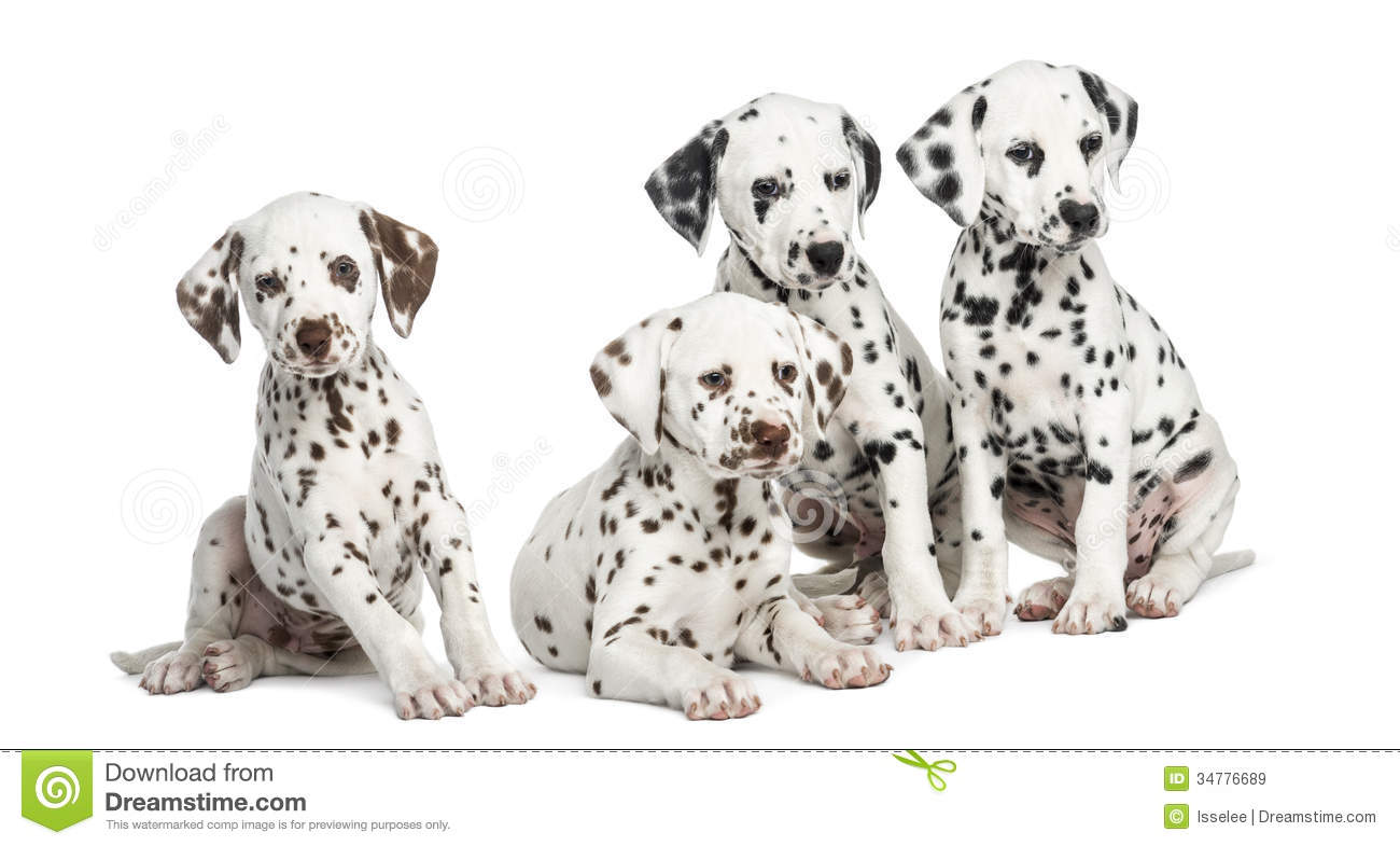 Group Of Dalmatian Puppies Sitting Isolated Stock Image