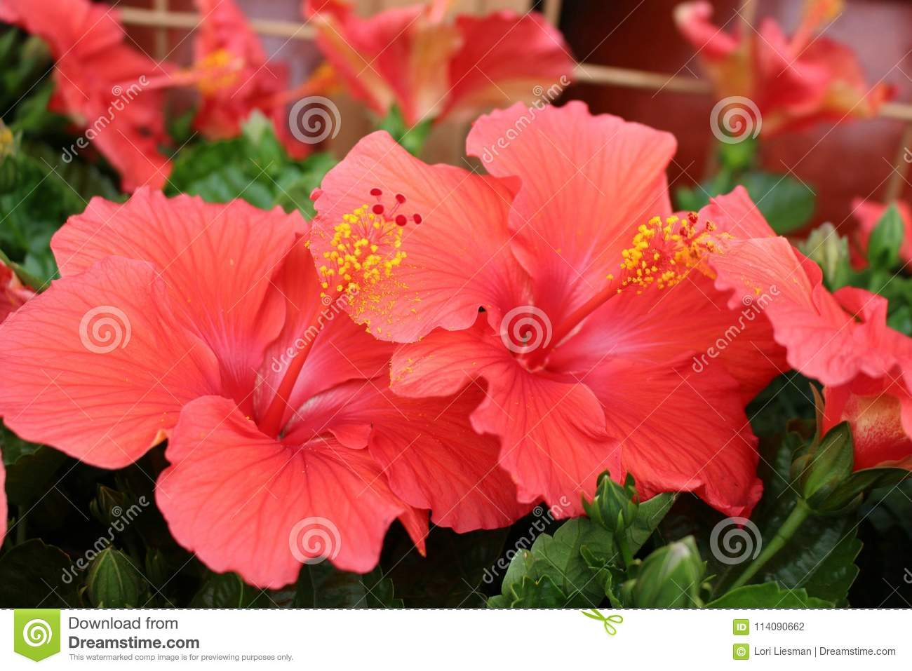 Group of Deep Pink Hibiscus Flowers in a Garden