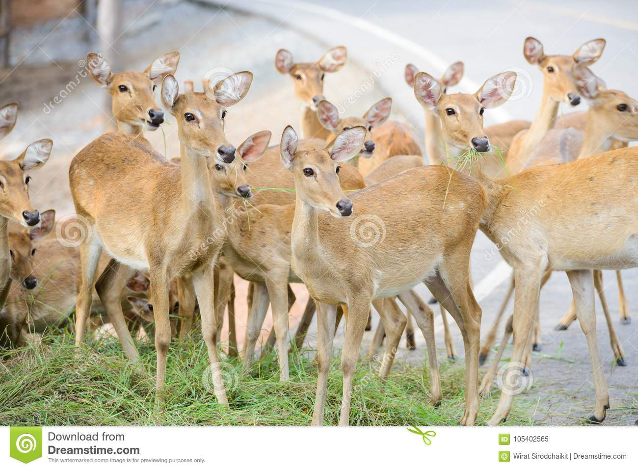 Group Of Deer Looking Something At The Same Spot Stock Image Image Of Cervidae Feed 105402565