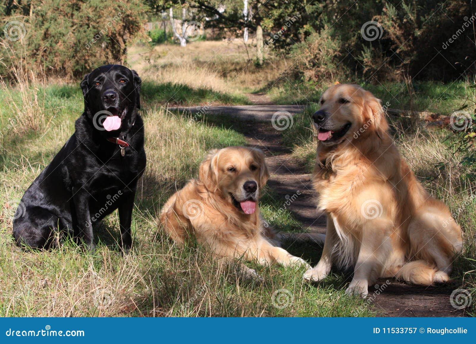 Group of dogs three retrievers